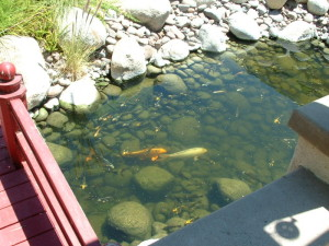 Koi pond deep enough to protect these expensive and rare for How deep should a koi pond be